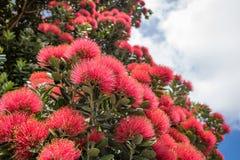 美丽的明亮的红色新西兰Pohutukawa花 库存图片