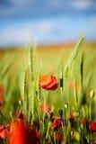 美丽的明亮的红色鸦片花 库存照片