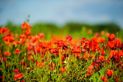 美丽的明亮的红色鸦片花 免版税库存图片