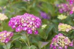 美丽的明亮的芽,包括在绿色叶子背景的许多小花  库存照片