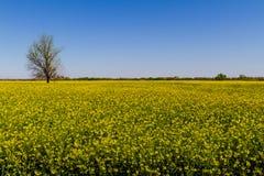 美丽的明亮的黄色开花的油菜的领域 免版税库存照片