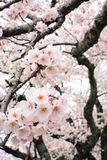美丽的春天佐仓花在一棵吉野樱桃树开花在日本 库存照片