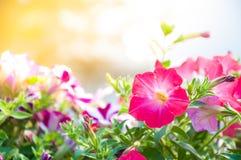 美丽的春天桃红色喇叭花花 库存照片