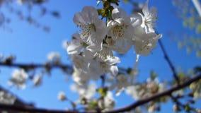 美丽的春天樱桃树开花 复活节新鲜的开花的樱桃特写镜头 股票视频