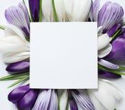 美丽的春天番红花花和卡片在白色背景,顶视图 库存图片