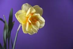 美丽的春天花水仙 图库摄影