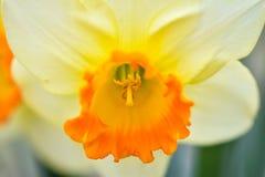 美丽的春天花水仙jonquilla,jonquil,仓促黄水仙 图库摄影