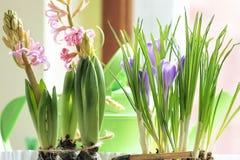 美丽的春天葡萄桃红色风信花和蓝色番红花在罐 免版税图库摄影