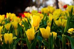 美丽的春天郁金香花在夜庭院里 免版税库存图片