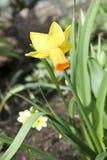 美丽的春天黄水仙 免版税库存照片