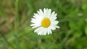 美丽的春白菊在草甸 特写镜头射击 股票视频