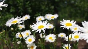 美丽的春黄菊在庭院里在风开花并且摇摆 夏天,花田,野花草甸,植物学的本质 影视素材