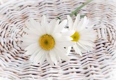 美丽的春黄菊花 免版税库存图片