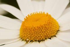 美丽的春黄菊,特写镜头 免版税库存图片