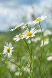 美丽的春黄菊 免版税图库摄影