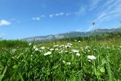 美丽的春黄菊在阿尔卑斯 免版税库存图片