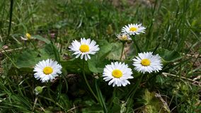 美丽的春黄菊 免版税库存图片