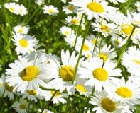 美丽的春黄菊 库存照片