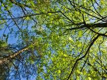 美丽的景色从下面在高大的树木在公园 在蓝天背景的年轻明亮的春天叶子 天山 库存图片