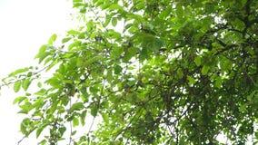 美丽的景色轻发光通过橡树夏天叶子在森林醉汉,在蓝天的鲜绿色的叶子的 股票视频