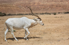 美丽的曲角羚羊在沙漠 免版税库存图片