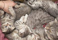 美丽的有来历猫和她的小猫。 库存图片