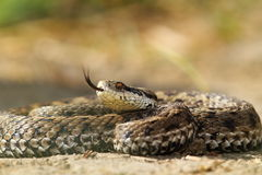 美丽的有毒欧洲蛇 库存图片