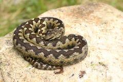 美丽的有毒欧洲蛇 图库摄影