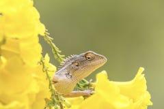 美丽的有胡子的龙蜥蜴介于中间的黄色花 图库摄影