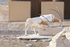 美丽的有角的羚羊属短弯刀 免版税图库摄影