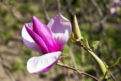 美丽的木兰在庭院里 库存照片