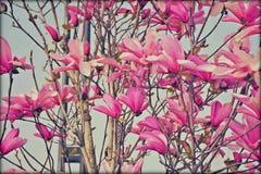 美丽的木兰开花 图库摄影