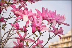 美丽的木兰开花 库存照片