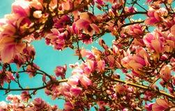 美丽的木兰春天树和明亮的蓝色春天天空, sprin 免版税库存图片