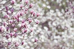 美丽的木兰树开花春天 反对蓝天的明亮的木兰花 浪漫花卉背景 免版税库存图片
