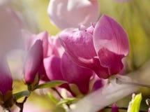 美丽的木兰树开花春天 反对蓝天的明亮的木兰花 浪漫花卉背景 免版税库存照片