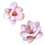 美丽的木兰,被隔绝的春天花 免版税图库摄影