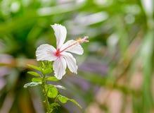 美丽的木槿花 库存照片