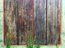 美丽的木窗口构造与被盖的上升的无花果植物的背景 图库摄影