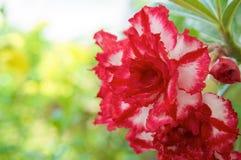 美丽的杂种Adenium Obesum有红色和白色层数 免版税库存图片
