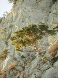 美丽的杉木在岩石增长高在海上 库存图片