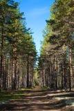 美丽的杉木森林在一个晴朗的夏日 免版税图库摄影