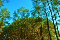 美丽的杉木森林在日惹 免版税库存图片