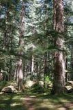 美丽的杉木森林在Manali,喜马偕尔邦,印度 库存照片