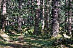 美丽的杉木森林在Manali,喜马偕尔邦,印度 图库摄影