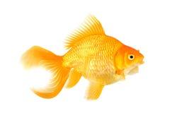美丽的杉状尾金鱼 图库摄影
