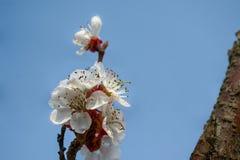 美丽的杏子花在一好日子 库存图片