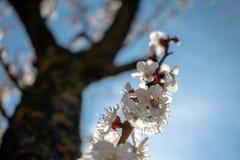 美丽的杏子花在一好日子 免版税库存照片