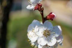 美丽的杏子花在一好日子 库存照片