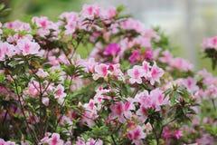 美丽的杜鹃花degronianum花特写镜头  图库摄影